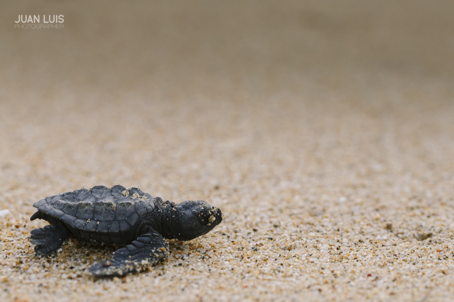 turtle-release-volenteer-san-pancho-nayarit-wedding-photographer
